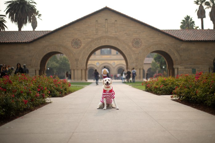 labrador sitting while off leash in a striped red and white polo at stanford university