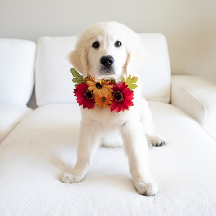 golden retriever puppy wearing a flower collar