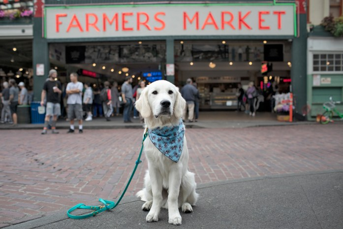 golden retriever in front of pike place seattle market sign