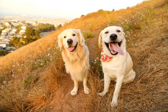 golden retrievers sitting in the grass at Bernal Heights Summit