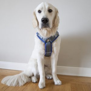 service dog with y front harness