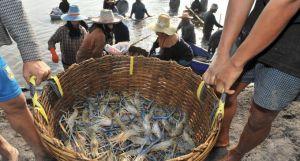 Shrimp slave labor