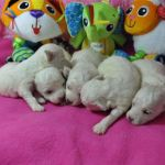 Bichon Frise Puppies playing with toys