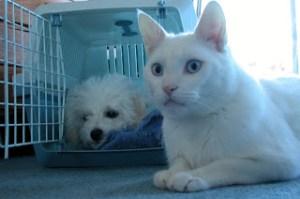 Bichon and White Cat