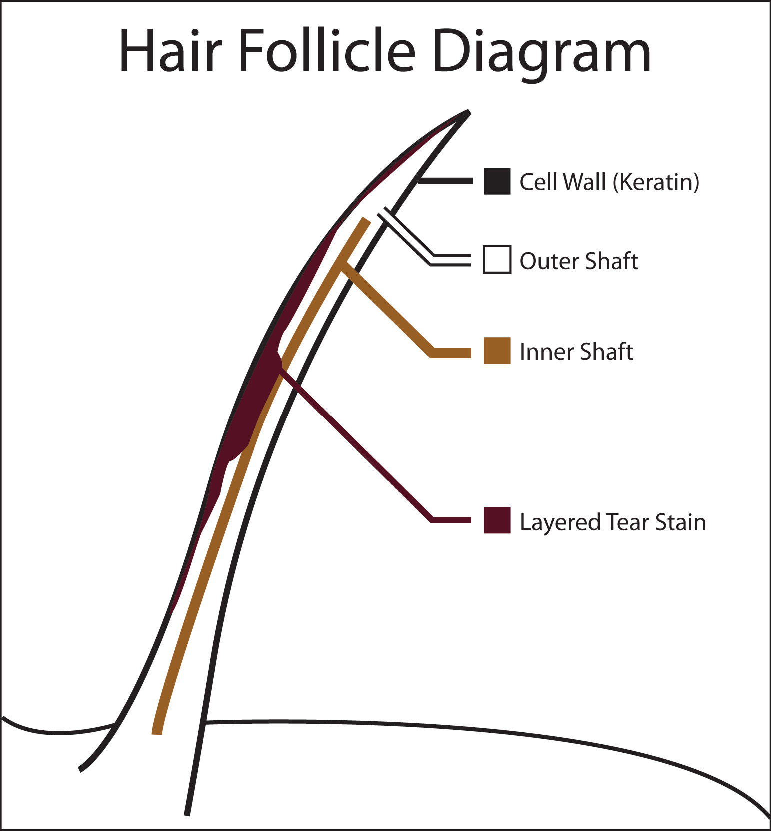 Hair Follicle Diagram For Pinterest