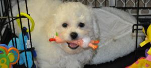 Bichon Frise puppy playing with toys