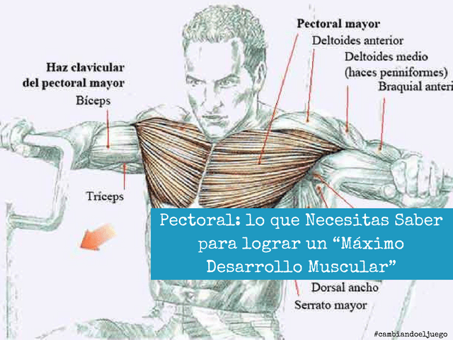 Pectoral lo que Necesitas Saber para lograr un Maximo Desarrollo Muscular