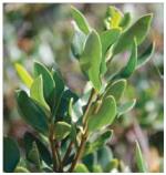 C47 Aly buxifolia