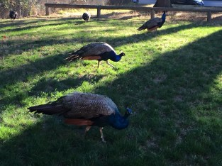 Real peacocks.