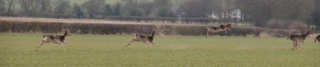 Escaping deer