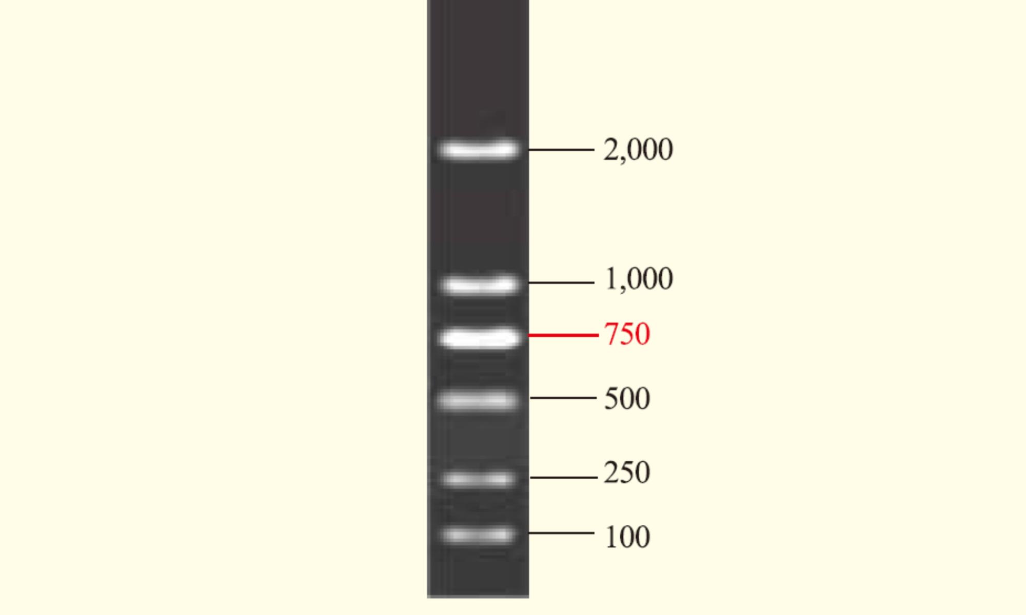 Trans 2k DNA ladder