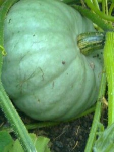 squash - crown prince - cropped