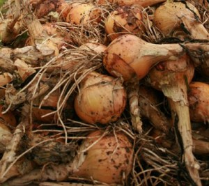 onions cropped - jg 09-08-09