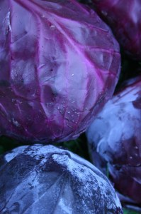 red cabbage-camel csa 30-10-09