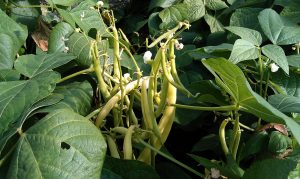 Yellow-beans-camelcsa-270712