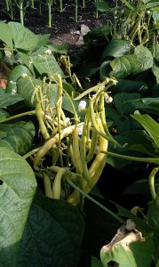yellow-french-beans-camelcsa-270712