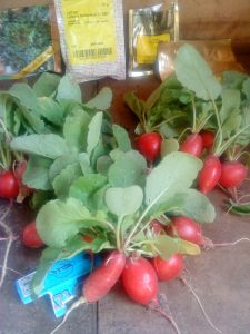 radish-bunches-camelcsa-040610