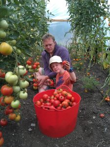 tomato-picking-polytunnel-camelcsa-230813