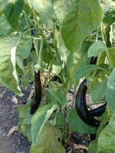 aubergine-plant-p-camelcsa-0815