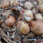 onions-camelcsa-0216