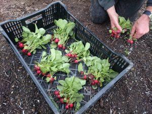 harvesting-radishes-camelcsa-260316