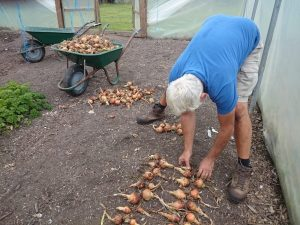 harvesting-onions-camelcsa-0816