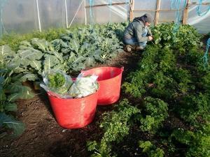 parsley-picking-camelcsa-021216
