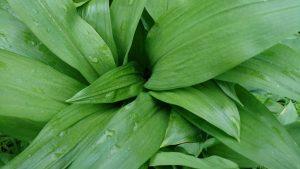 wild-garlic-camelcsa-170317