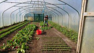 harvesting-radishes-camelcsa-070417