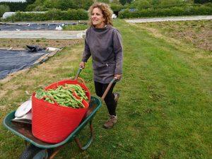 harvesting-broadbeans-camelcsa-040517
