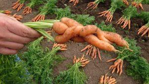carrots-camelcsa-090617
