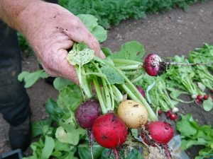 radishes-camelcsa-031117