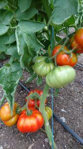 mamande-tomatoes-ripening-camelcsa-0818