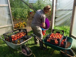 harvesting-tomatoes-camelcsa-31081