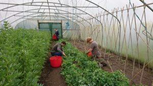 picking-peas-camelcsa-240519