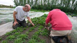 picking-salad-leaves-camelcsa-240519