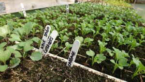 winter-brassica-seedlings-camelcsa-270619
