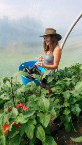 harvesting-aubergines-camelcsa-250719