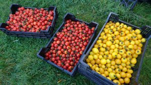 tomatoes-camelcsa-200919