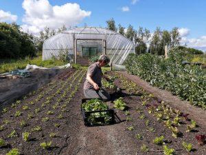 harvesting-salad-leaves-camelcsa-140520