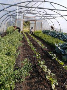 harvesting-veg-polytunnel-camelcsa-290520
