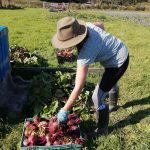 harvesting-beetroot-camelcsa-070720