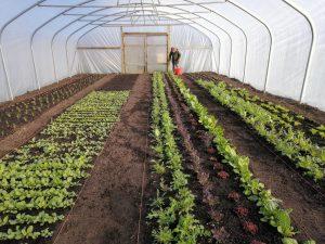 harvesting-winter-salad-leaves-camelcsa-050321