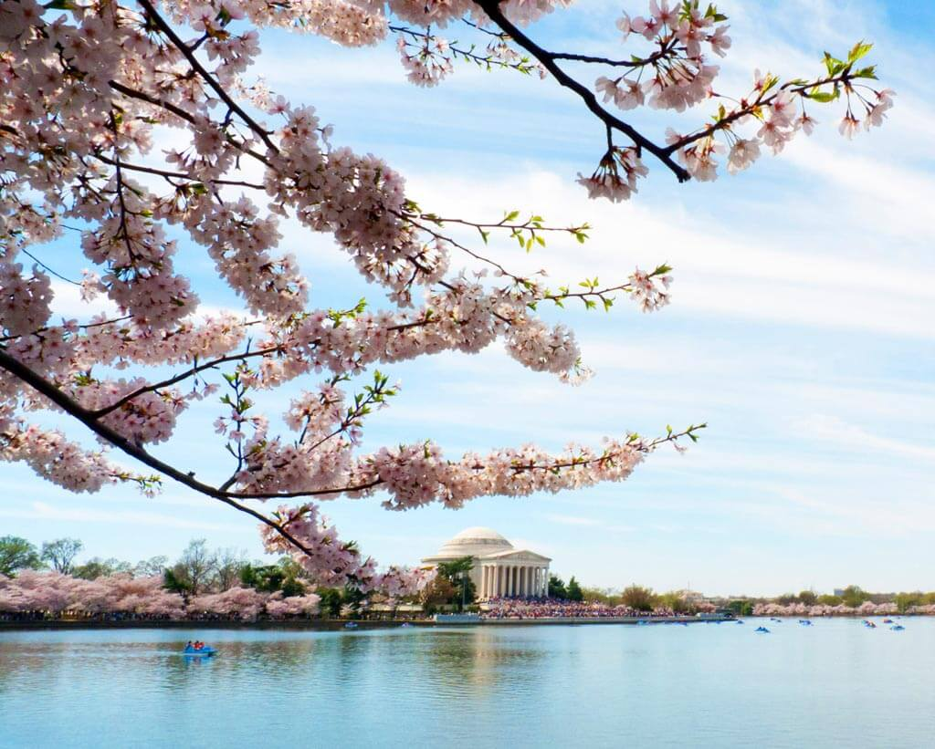 Jefferson Monument with Cherry Blossoms