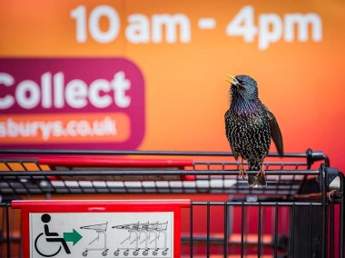 the-supermarket-starling-geoff-trevarthen-conrwall-urban-winner