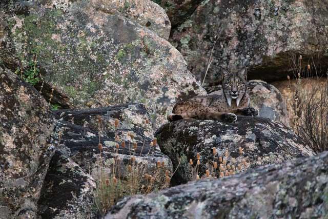 Iberian lynx - Luke Massey/tpoty.com