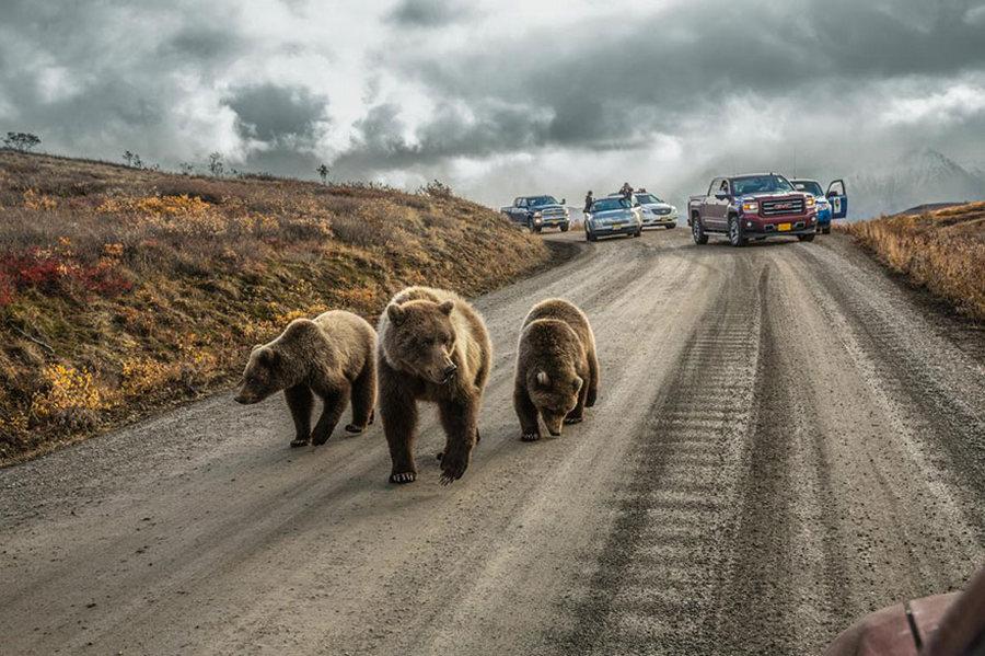 Автозамын хөдөлгөөнд саад болж, түгжрэл үүсгэсэн баавгайнууд /Гэрэл зургийг Аарон Хуэй/