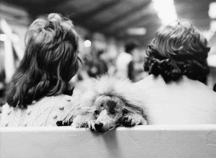 «Дай, Джим, на счастье лапу мне»: фотографии Ширли Бейкер с выставок собак 1960-70-х 8
