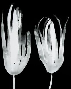 laminaria digitata III (pair)