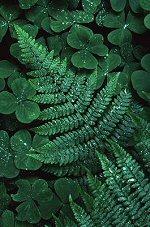 Ferns, photograph by Brent VanFossen